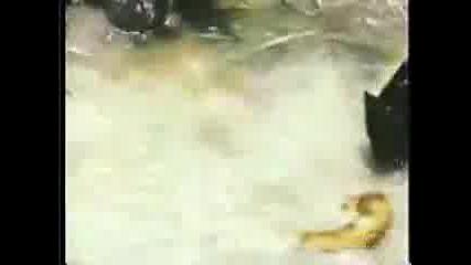 Ягуар убива анаконда