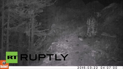 Russia: Endangered snow leopard filmed in Serbian national park