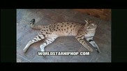 Най - Високата Домашна Котка - Световен Рекорд На Гинес