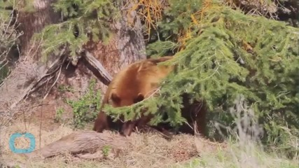 Young Black Bear Loose In Wyoming City Caught Sleeping Under Tree