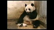 Бебе - Панда Киха
