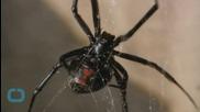 Male Black Widows Strive For Mate's Monogamy