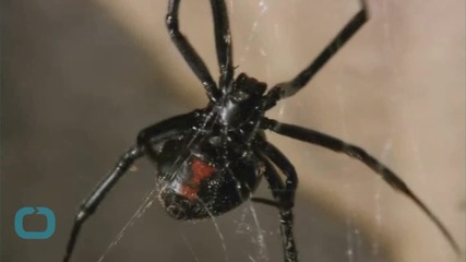 Male Black Widows Strive For Mate's Monogamy