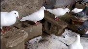 Пощенски гълъби