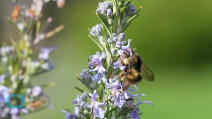Climate Change Causing Bumblebee Habitat Loss