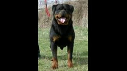 Rottweilers best of the best