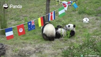 Супер сладко: Бебета панди се борят за купата!