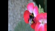 Пчеличка ,която заснех в моя двор на село-горна Диканя