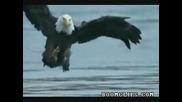 Орел хваща плячката си