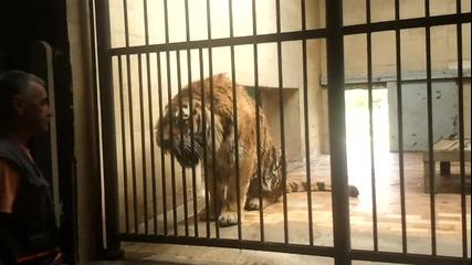 Angry Siberian Тiger Bulgariq-sofiq Zoo