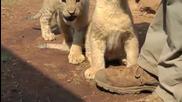 Много смешно лъвче