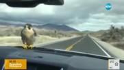Сокол пътува километри на предния капак на кола