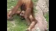 Орангутан Си Пикае В Устата