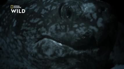Кожестата костенурка