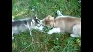 кучета хъски
