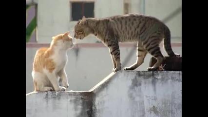 Котешки Скандал