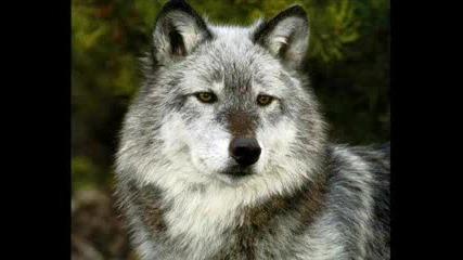 Дивите Вълци - Гледайте Го!