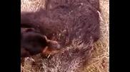 Настървяване - лов