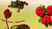 Pelargonium, Geranium ... (music accordion)
