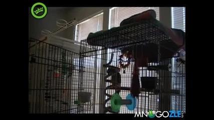 Луд папагал пее