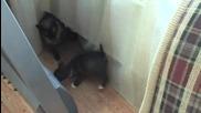Малко куче и сиамска котка,първо запознанство...