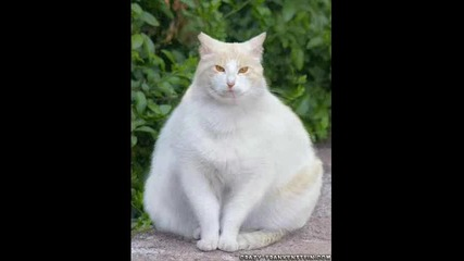 The World S Fattest Cat