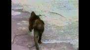 Маймуна си Видя Отражението