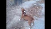 pitbull - Киара се катери по дърво