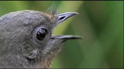Имитираща красива мъжка птица
