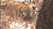 Необикновеното приятелство между тигър и козел