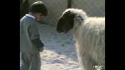 Овцата Му Разказа Играта