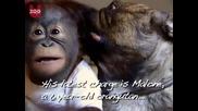 Най страстната целувка между Булдог и Орангутан