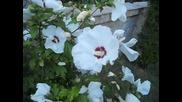 Бели ружи