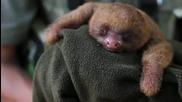 Току що новородено бебе на ленивец - голяма прозявка!