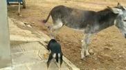 В спор за храна нахално куче прекалява , но магарето не му прощава , смях