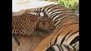 Любов Между Леопард И Тигър