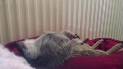 Сладък сурикат му се спи