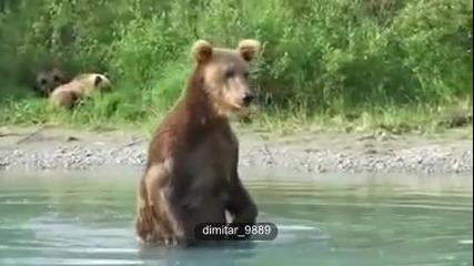 Кафява мечка прави перфектен улов на сьомга в реката!