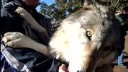 Вълк, щастлив, че е сред хора!