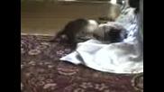 Две Котенца Си Играят