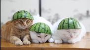 дрямката на японските котета