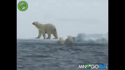 Мечка помага на малките си