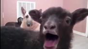 Козите отново с хитово парче в интернет. Смях!