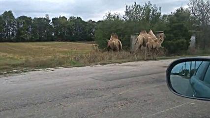 Камили по пътя в с. Калиманци