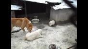 Алабай - Сао - Средноазиатска овчарка - Атман - 28 - 01 - 10 - 2