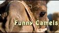Смешни животни - Най-доброто от камилите