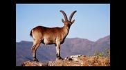Севгилим Апаз-дива Коза