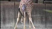Малко Жирафче се Появява На Бял Свят в Memphis Zoo