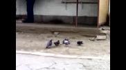 Хищни Гълаби клюцат месо! :d