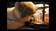 Котешки припадък